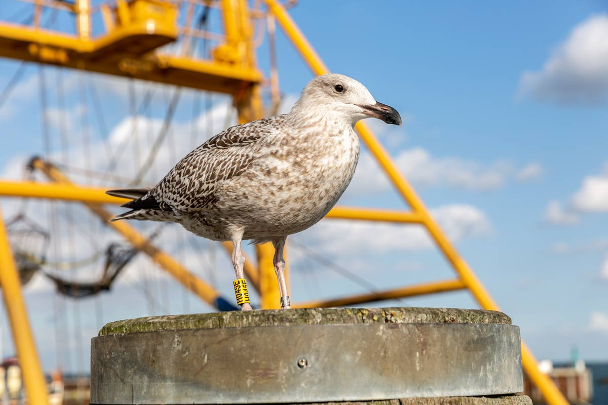 Möwe am Hafen von Sylt